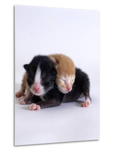 Domestic Cat, 1-Day Kittens Black-And-White and Ginger-Jane Burton-Metal Print