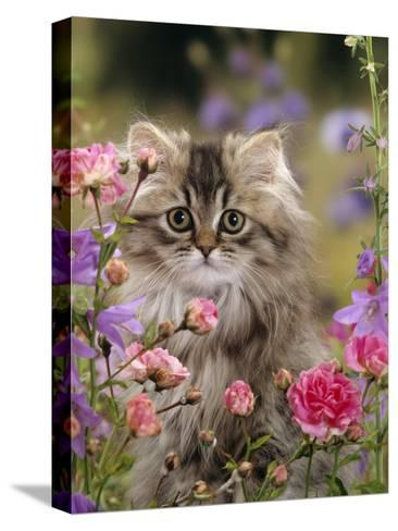 Domestic Cat, Portrait of Long Haired Tabby Persian Kitten Among Dwarf Roses and Bellflowers-Jane Burton-Stretched Canvas Print
