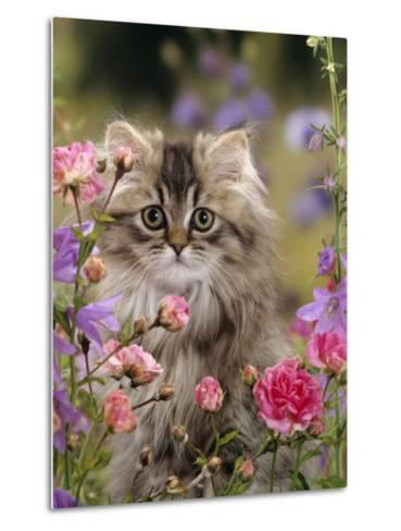 Domestic Cat, Portrait of Long Haired Tabby Persian Kitten Among Dwarf Roses and Bellflowers-Jane Burton-Metal Print
