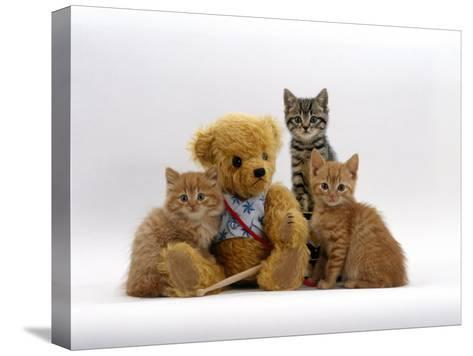 Domestic Cat, Two Ginger Kittens and a Tabby with Ginger Teddy Bear-Jane Burton-Stretched Canvas Print