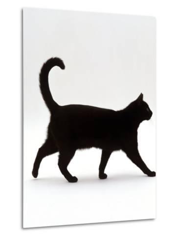 Domestic Cat, Black Short-Hair Male, Walking Profile-Jane Burton-Metal Print