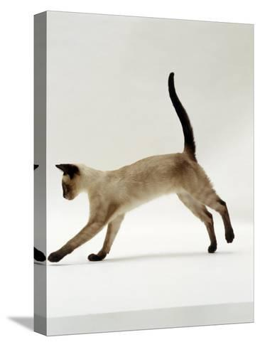 Domestic Cat, Seal-Point Siamese Juvenile Running Profile-Jane Burton-Stretched Canvas Print