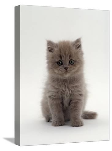 Domestic Cat, 7-Week, Male Blue Longhair Persian Kittens-Jane Burton-Stretched Canvas Print