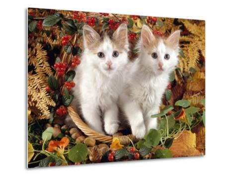 Domestic Cat, 9-Week, White-And-Tortoiseshell Sisters and in a Basket with Hazelnuts-Jane Burton-Metal Print