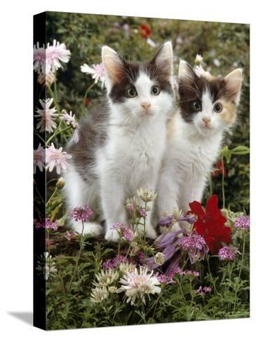 Domestic Cat, 9-Week, Black-And-White Kittens Among Flowers-Jane Burton-Stretched Canvas Print