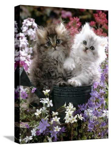 Domestic Cat, Tabby and Siver Chinchilla Persian Kittens, by Watering Can Among Bellflowers-Jane Burton-Stretched Canvas Print