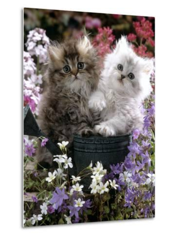 Domestic Cat, Tabby and Siver Chinchilla Persian Kittens, by Watering Can Among Bellflowers-Jane Burton-Metal Print
