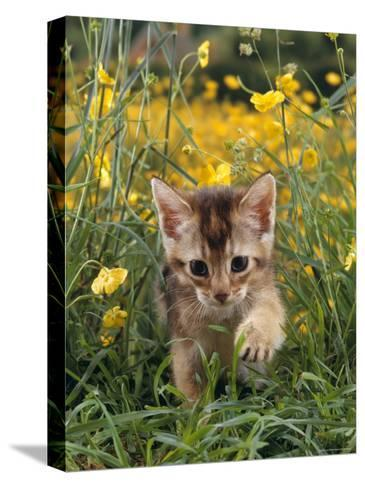 Domestic Cat, 6-Week, Abyssinian Kitten Walking in Grass with Buttercups-Jane Burton-Stretched Canvas Print