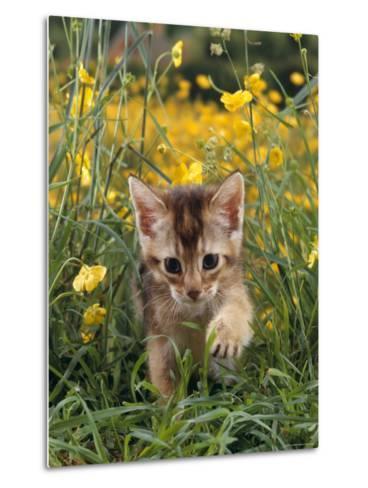 Domestic Cat, 6-Week, Abyssinian Kitten Walking in Grass with Buttercups-Jane Burton-Metal Print