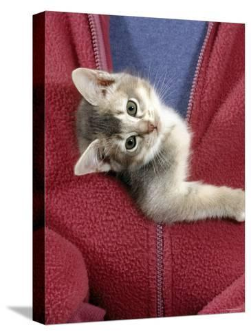 Person Carrying Domestic Cat, Blue Ticked Tabby Kitten Zipped into Front of Jacket-Jane Burton-Stretched Canvas Print