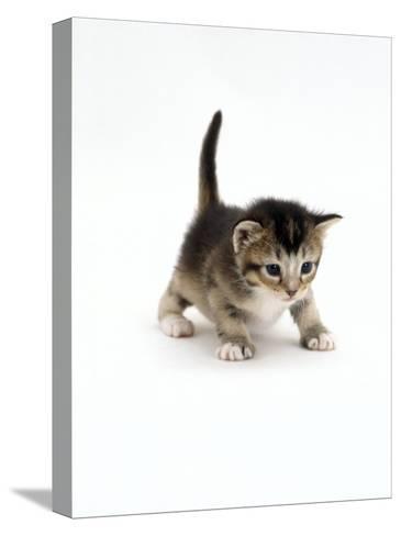 Domestic Cat, 3-Week Ticked-Tabby Kitten-Jane Burton-Stretched Canvas Print