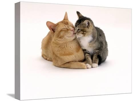 Domestic Cat Father, Red Male with His Agouti Tabby Male Kitten-Jane Burton-Stretched Canvas Print