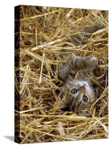 Domestic Cat, Tabby Farm Kitten Playing in Straw-Jane Burton-Stretched Canvas Print