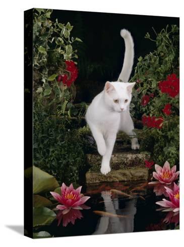 White Domestic Cat Watching Goldfish in Garden Pond-Jane Burton-Stretched Canvas Print