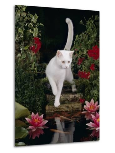 White Domestic Cat Watching Goldfish in Garden Pond-Jane Burton-Metal Print