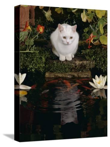 White Domestic Cat Watching Goldfish in Garden Pond-Jane Burton-Stretched Canvas Print