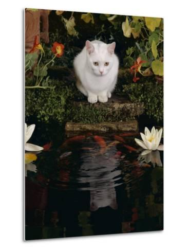 White Domestic Cat Watching Goldfish in Garden Pond-Jane Burton-Metal Print