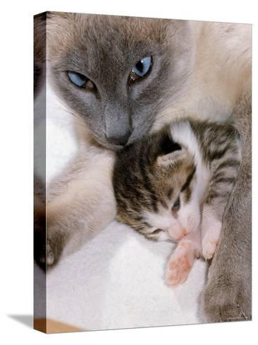 Domestic Cat, Cross Bred Tabby Kitten with Siamese Mother-Jane Burton-Stretched Canvas Print