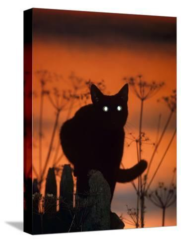 Black Domestic Cat, Silhoutte at Sunset with Eyes Reflecting Light-Jane Burton-Stretched Canvas Print