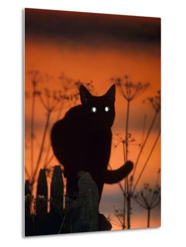 Black Domestic Cat, Silhoutte at Sunset with Eyes Reflecting Light-Jane Burton-Metal Print