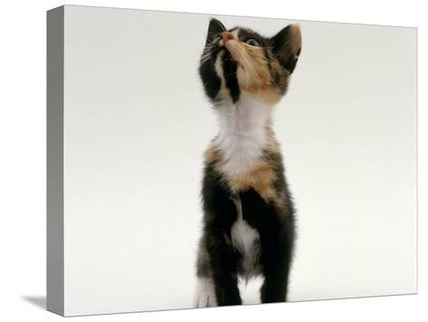 Domestic Cat, Kitten Looking Upwards-Jane Burton-Stretched Canvas Print