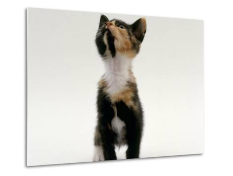 Domestic Cat, Kitten Looking Upwards-Jane Burton-Metal Print