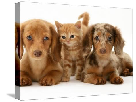 Miniature Long-Haired Dachshund Puppies with British Shorthair Red Tabby Kitten-Jane Burton-Stretched Canvas Print