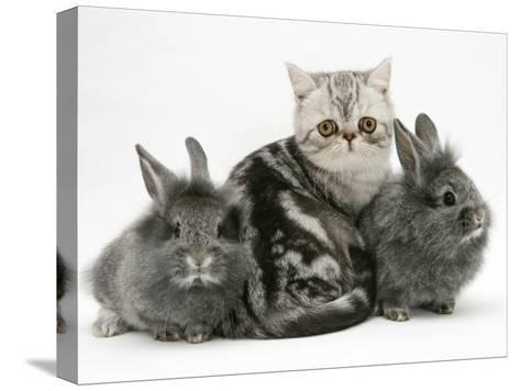 Blue-Silver Exotic Shorthair Kitten with Baby Silver Lionhead Rabbits-Jane Burton-Stretched Canvas Print