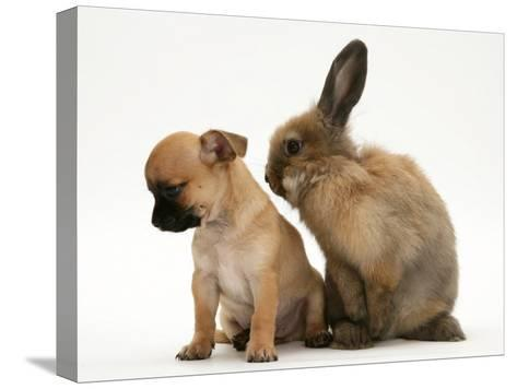 Chihuahua Puppy and Lionhead Rabbit-Jane Burton-Stretched Canvas Print