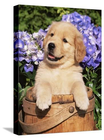 Golden Retriever Puppy in Bucket (Canis Familiaris) Illinois, USA-Lynn M^ Stone-Stretched Canvas Print