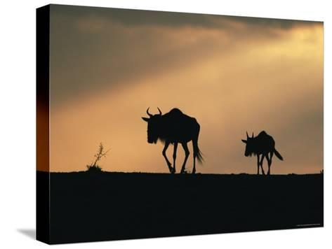 Two Wildebeest, at Sunset, Kenya-Terry Andrewartha-Stretched Canvas Print