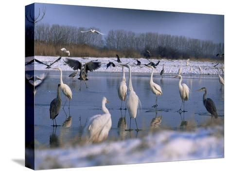Great Egrets, and Grey Herons, on Frozen Lake, Pusztaszer, Hungary-Bence Mate-Stretched Canvas Print