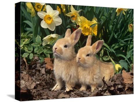 Two Young Palamino Domestic Rabbits, USA-Lynn M^ Stone-Stretched Canvas Print
