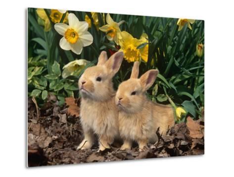 Two Young Palamino Domestic Rabbits, USA-Lynn M^ Stone-Metal Print