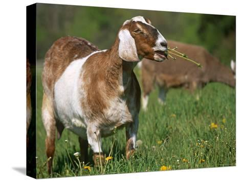 Domestic Goat, Grazing, USA-Lynn M^ Stone-Stretched Canvas Print