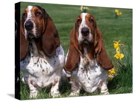 Two Basset Hounds, Domestic Dog,Amongst Daffodils, USA-Lynn M^ Stone-Stretched Canvas Print