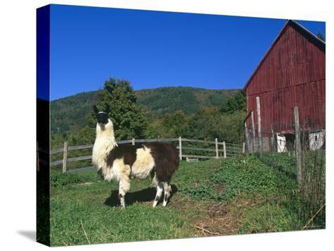 Domestic Llama, on Farm, Vermont, USA-Lynn M^ Stone-Stretched Canvas Print