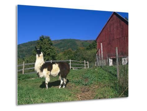 Domestic Llama, on Farm, Vermont, USA-Lynn M^ Stone-Metal Print