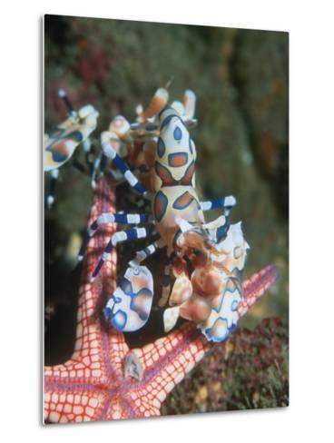 Harlequin Shrimp, Starfish Prey, Upside Down to Prevent It from Escaping, Andaman Sea, Thailand-Georgette Douwma-Metal Print