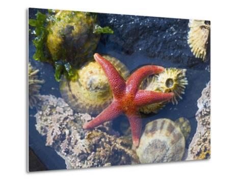 Blood Star, with Limpets and Barnacles Exposed at Low Tide, Tongue Point, Washington, USA-Georgette Douwma-Metal Print