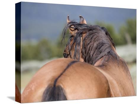Wild Horse, Rear View of Dun Stallion, Pryor Mountains, Montana, USA-Carol Walker-Stretched Canvas Print