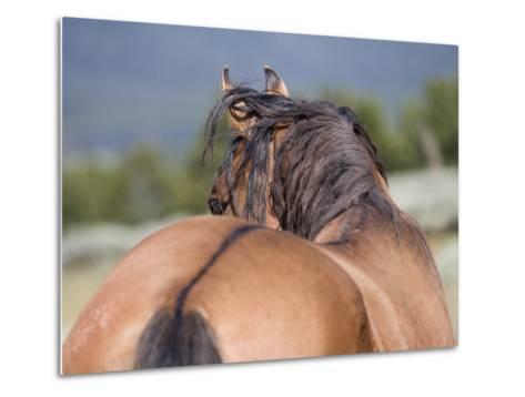 Wild Horse, Rear View of Dun Stallion, Pryor Mountains, Montana, USA-Carol Walker-Metal Print