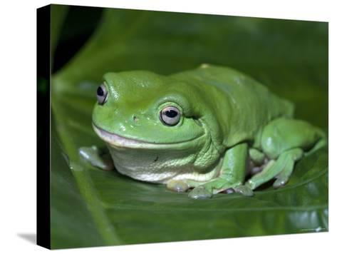 Green Tree Frog (Litoria Caerulea) on Leaf, Northern Territory, Australia-Steven David Miller-Stretched Canvas Print