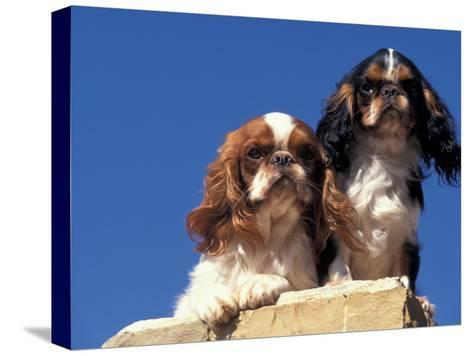 Two King Charles Cavalier Spaniel Adults on Wall-Adriano Bacchella-Stretched Canvas Print