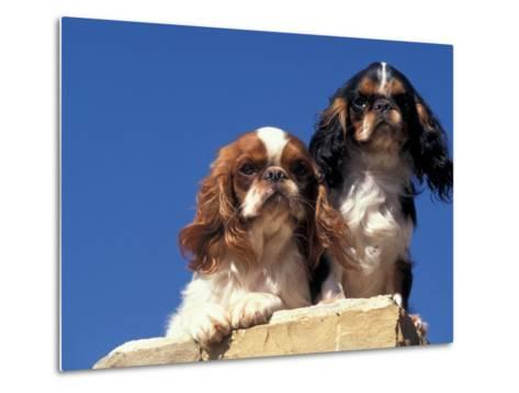 Two King Charles Cavalier Spaniel Adults on Wall-Adriano Bacchella-Metal Print