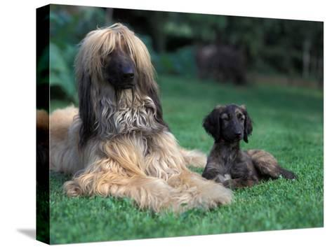Domestic Dogs, Afghan Hound Lying on Grass with Puppy-Adriano Bacchella-Stretched Canvas Print