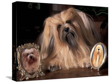 Lhasa Apso with Framed Pictures of Other Lhasa Apsos-Adriano Bacchella-Stretched Canvas Print
