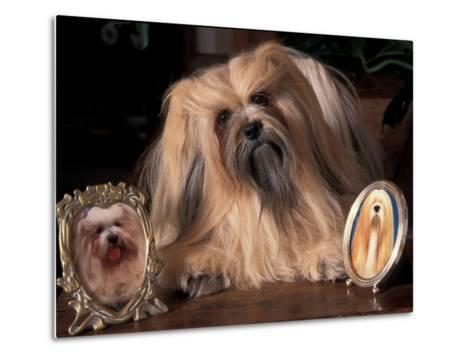 Lhasa Apso with Framed Pictures of Other Lhasa Apsos-Adriano Bacchella-Metal Print