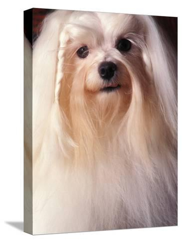 Maltese with Hair Plaited-Adriano Bacchella-Stretched Canvas Print