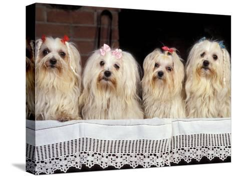 Domestic Dogs, Four Maltese Dogs Sitting in a Row, All with Bows in Their Hair-Adriano Bacchella-Stretched Canvas Print